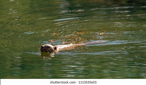 USA, Nevada, Carson City, Lake Tahoe: A North American beaver (Castor canadensis) swims with a stick in its mouth in Marlette Lake.