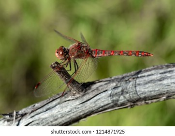 USA, Nevada, Clark County, Gold Butte National Monument, Red Bluff Spring. Close up of a brightly red colored mature male variegated meadowhawk dragonfly (Sympetrum corruptum) with translucent abdomen