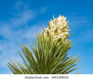 USA, Nevada, Clark County, Gold Butte National Monument. A cluster of large cream colored flowers at the end of the spikey branches of a Joshua Tree (Yucca brevifolia var. jaegeriana)