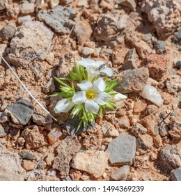 USA, Nevada, Clark County, Gold Butte National Monument. A humble gilia (Linanthus demissus). Tnis tiny desert annual herb is less than an inch tall.
