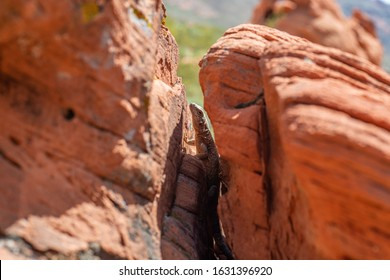 USA, Nevada, Clark County, Gold Butte National Monument, Little Finland. The chuckwalla (Sauromalus ater) is a large lizard that expands it body to secure itself in the cracks of rocks.
