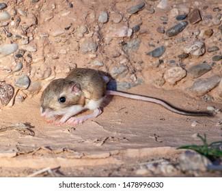 Kangaroo Rats Images Stock Photos Vectors Shutterstock