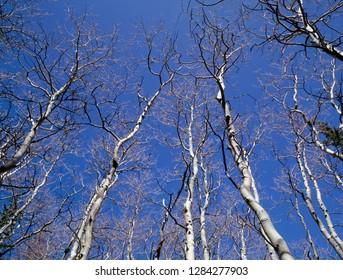 USA, Nevada, Great Basin National Park, Leafless quaking aspen (Populus tremuloides) reach skyward.