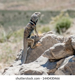 USA, Nevada, Lincoln County, Basin and Range National Monument, Fossil Mountain. A Great Basin Collared Lizard (Crotaphytus bicinctores) perched on a rock.