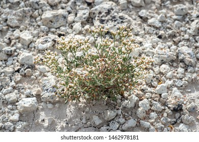 USA, Nevada, Nye County, Kirch Wildlife Management Area. Simpson's buckwheat (Eriogonum microthecum var. simpsonii) is a diminutive subshrub variety of slender wild buckwheat native to the Western US.