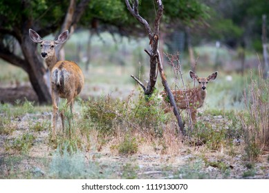 USA, Nevada, White Pine County, David E. Moore Bird and Wildlife Sanctuary. A mother mule deer (Odocoileus hemionus) and her spotted bambi-like offspring.