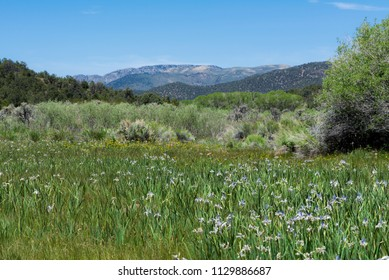 USA, Nevada, White Pine County, White Pine Range. A meadow of purple flowers of Missouri Flag Iris (Iris missouriensis) growing along the White River.