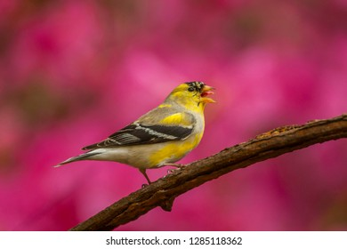 USA, North Carolina, Guilford County. American goldfinch singing. Credit as: Cathy & Gordon Illg / Jaynes Gallery / DanitaDelimont.com