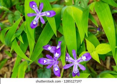 USA, North Carolina, Joyce Kilmer-Slickrock Wilderness. Dwarf crested Iris blooms along trail on spring hike.