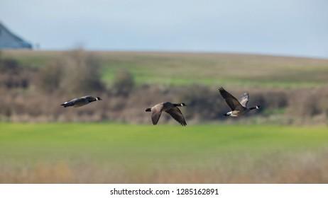 USA, Oregon, Baskett Slough National Wildlife Refuge, Canada Geese (Branta canadensis) flying