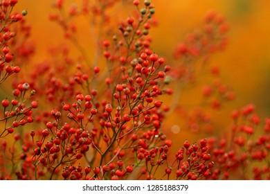 USA, Pennsylvania. Autumn bittersweet plant. Credit as: Marie Bush / Jaynes Gallery / DanitaDelimont.com