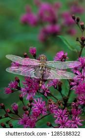 USA, Pennsylvania. Dragonfly on Joe-Pye weed. Credit as: Nancy Rotenberg / Jaynes Gallery / DanitaDelimont.com