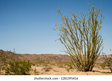 USA, Southern California, Drought Spotlight number 3, Rte 66 Expedition, Joshua Tree National Park, ocotillo cactus in Colorado Desert (part of the Sonoran Desert)