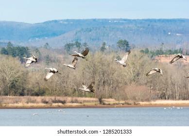 Usa, Tennessee, Birchwood. Hiwassee Wildlife Refuge migratory stop for Sandhill Cranes (Grus Canadensis)