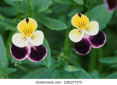 USA, Utah, Cache Valley, Johnny Jump Up (Viola tricolor), Close-Up