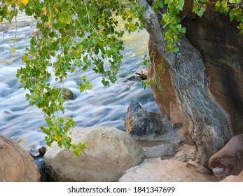 USA, Utah. Zion National Park, Cottonwood tree with the Virgin River