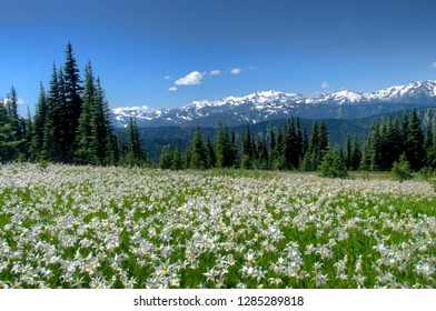 USA, Washington, Olympia National Park. High-altitude lilies that bloom for one week annually.