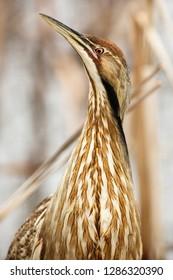 USA, Washington, Ridgefield, Ridgefield National Wildlife Refuge, American Bittern (Botaurus lentiginosus).