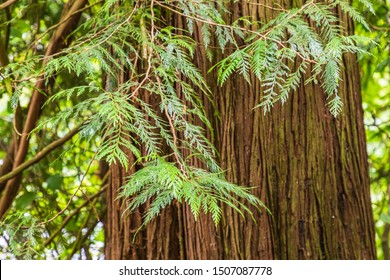 USA, Washington State, Battle Ground Lake State Park. Western red cedar in the forest.