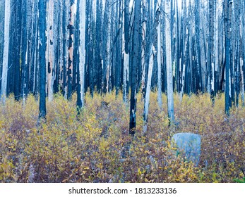 USA, Washington State. Burned forest near Blewit Pass and Autumn grasses.