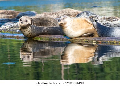 USA, Washington State, Poulsbo Harbor seals relax on marina floatation.