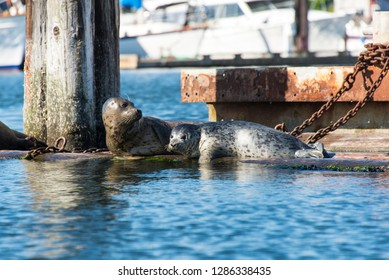 USA, Washington State, Poulsbo Mother and pup harbor seal rest on floatation in marina.