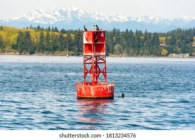 USA, Washington State, Puget Sound. California Sea Lions circling channel marker buoy.