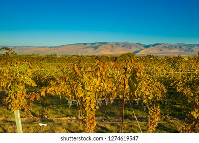 USA, Washington, Walla Walla. Vineyard at end of harvest.