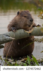 Usa, Wyoming, Grand Teton National Park. North American Beaver (Castor canadensis) gnawing through an aspen on a pond shore.