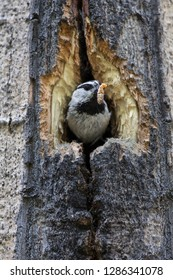 USA, Wyoming, Sublette County, Mountain Chickadee at nest cavity in aspen with insect for young