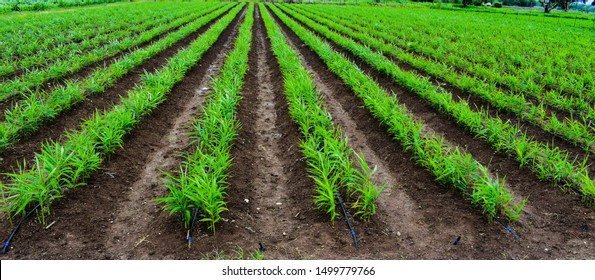 Use of drip irrigation. Ginger (Zingiber officinale) field.Long rows. Ginger crop. Farming of Ginger.