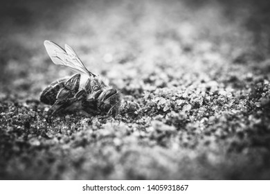Use of pesticides in the environment and flowers. Macro image of a dead bee, lying on the ground due to the use of pesticides and poisons. Concept of bee extinction and environmental risk.