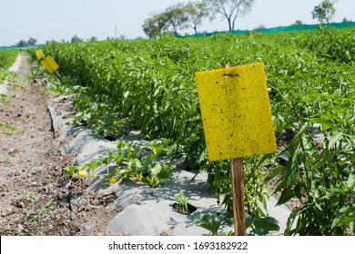 Use of Yellow Sticky trap in Agriculture field. Yellow Sticky traps are designed to attract and capture a variety of insects and pest. Organic farming technique.