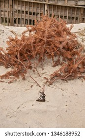 A used Christmas Tree catches blowing sand graing to build new Sand Dunes after Hurricane Florence storm damage.
