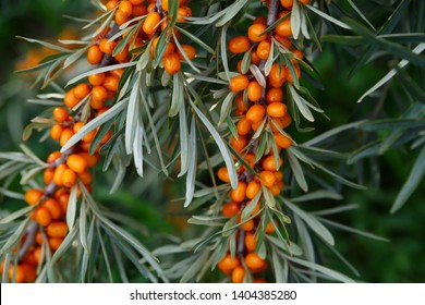 A lot of useful berries of sea-buckthorn on a bush with green leaves