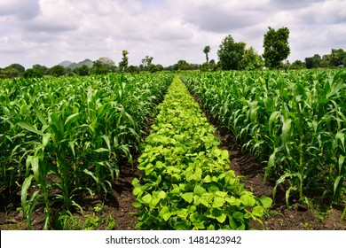 Useful crop rotation in agriculture. maize and Mung bean tree (Vigna radiata). Beautiful farm.