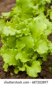 Useful And Vitamin Food Of Green Salad Lettuce (Lactuca sativa) Growing In Vegetable Garden.