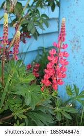 ushuaia argentina lupines against blue wall