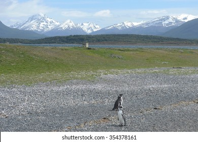 USHUAIA, ARGENTINA - NOVEMBER 16,2014:Magellanic penguins in the Beagle channel.