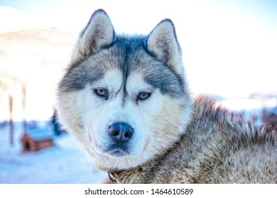 Ushuaia, Tierra del Fuego - July 20, 2019: Siberian Husky dog portrait sitting on the snow on a Winter Center called Las Cotorras in Ushuaia, Argentina