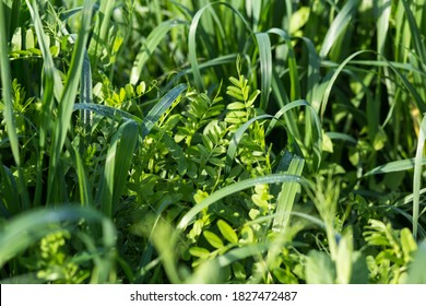 Using as covering crops vetch and oats. to improve the structure and fertility of the soil.