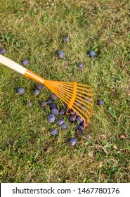 Using leaf rake to sweep old soft rotten gone bad plums together from green grass in garden.