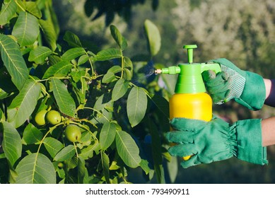 Using pesticide against pests on walnut tree. Woman with gloves spraying a leaves of fruit tree against plant diseases.