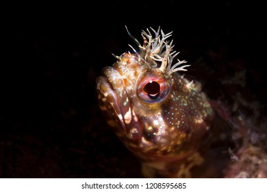 Using special limited beam snoot lighting, I captured this tiny fringe head blenny peering out of a small tube for which the fish lives.