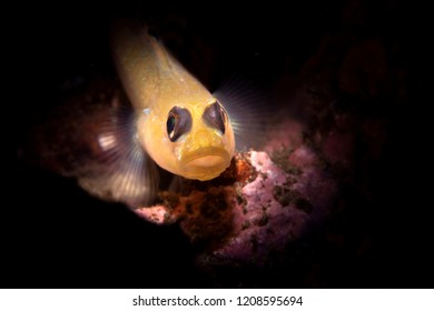 Using special limited beam snoot lighting, I captured this small black eye goby resting on a sandy bottom where the fish dart around looking for food and defending their territory.