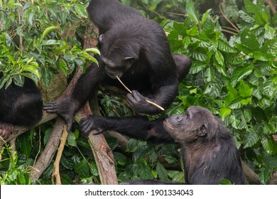 Using a stick as a tool, this adult chimpanzee has managed to access honey that was inside of a crevice in a branch. Other chimpanzees from the group have watched and are learning this skill.