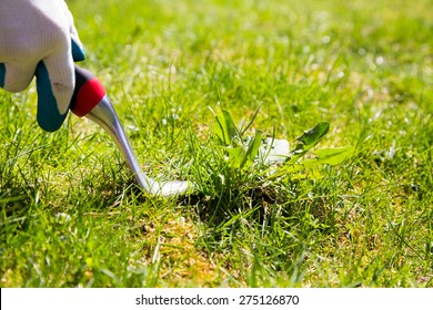 Using a weed pulling tool to remove a weed from the lawn by hand