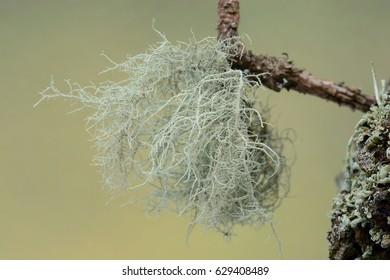 usnea cornuta lichen on an Oak tree branch.