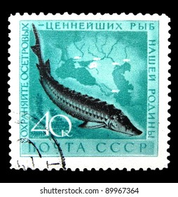 """USSR - CIRCA 1959: A stamp printed in USSR (Russia) shows Sturgeon with the inscription """"Protect the most valuable fish of our homeland"""" from the series """"Protecting valuable fish species"""", circa 1959"""
