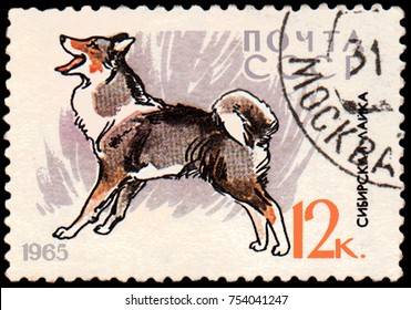USSR - CIRCA 1965: a postage stamp, printed in USSR, shows a East Siberian Laika, series Hunting and Service Dogs
